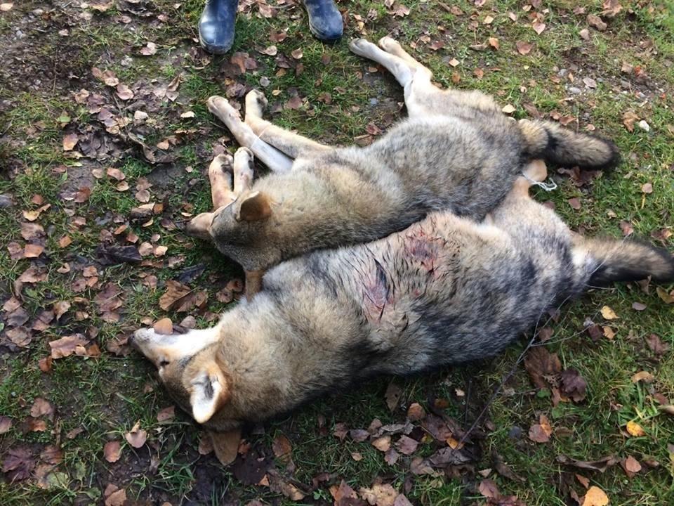 На Хустщині селяни вполювали 2-х вовків, які їли худобу і лякали людей: фото, фото-3