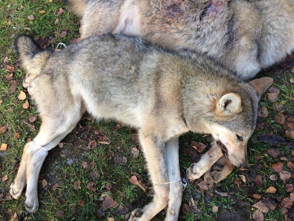 На Хустщині селяни вполювали 2-х вовків, які їли худобу і лякали людей: фото, фото-2