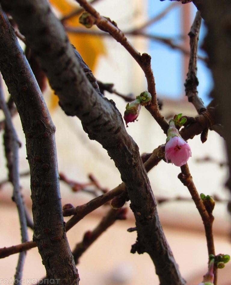 За місяць до зими на Закарпатті зацвіли сакури: фото, фото-4