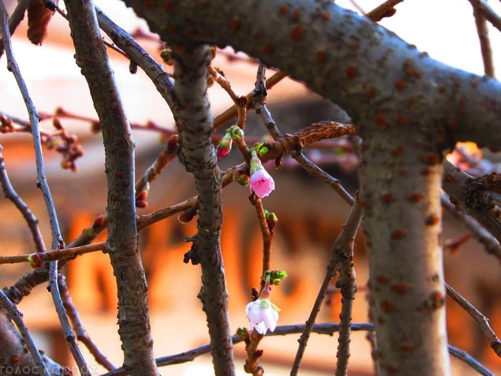 За місяць до зими на Закарпатті зацвіли сакури: фото, фото-1