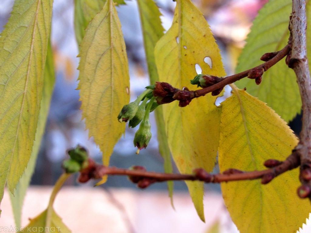 За місяць до зими на Закарпатті зацвіли сакури: фото, фото-3