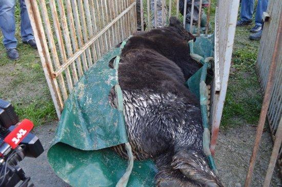 15 років у клітці: на Закарпаття привезли 3-х ведмедів, які більше 10-ліття не бачили лісу (ФОТО, ВІДЕО), фото-3