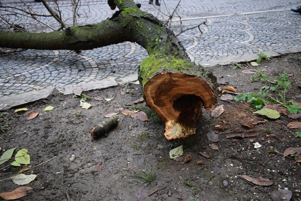 Як в Ужгороді сакури рубали: фото, фото-3