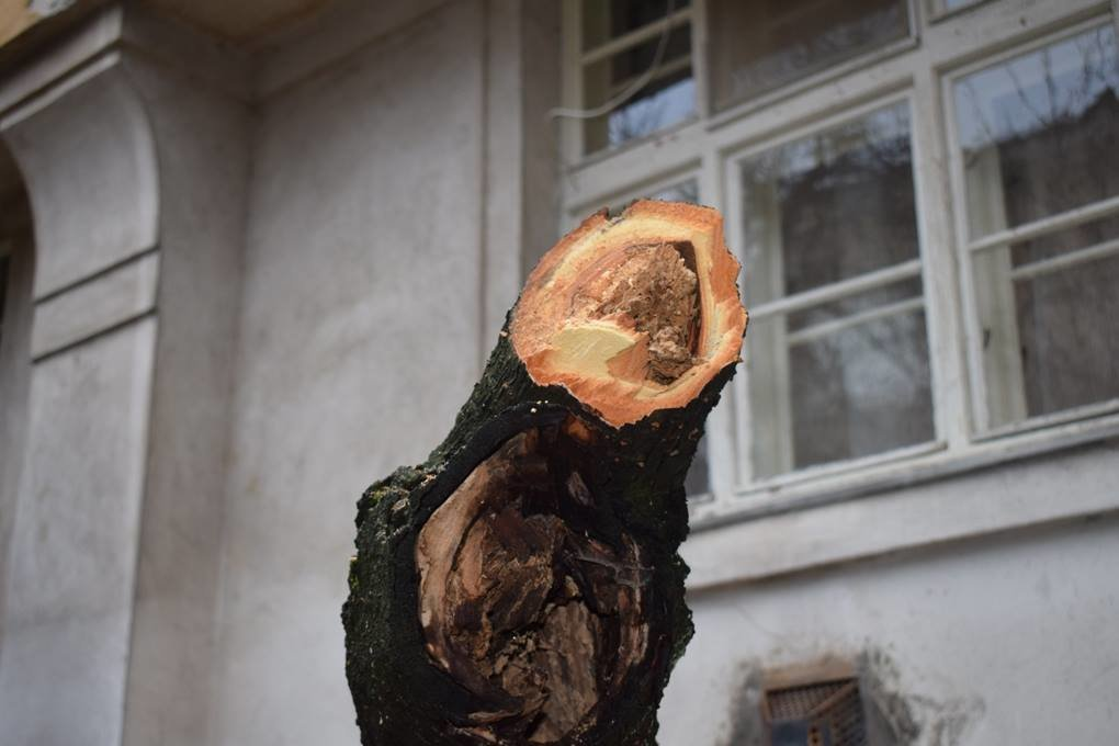 Як в Ужгороді сакури рубали: фото, фото-9