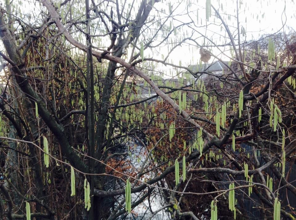 У Дравцях біля Ужгорода  розцвіли підсніжники: фото, фото-2