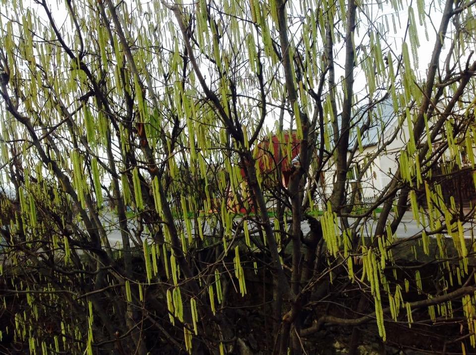 У Дравцях біля Ужгорода  розцвіли підсніжники: фото, фото-5