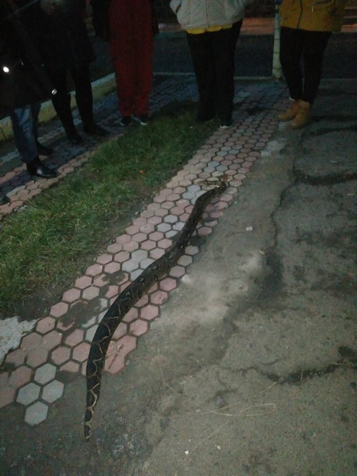 У Хусті посеред вулиці місцеві мешканці вбили пітона: фото, фото-2