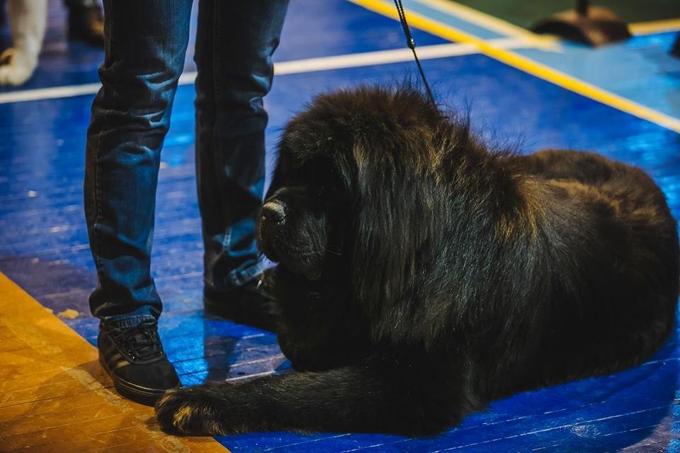 В Ужгороді проходить виставка собак (ФОТОРЕПОРТАЖ), фото-11
