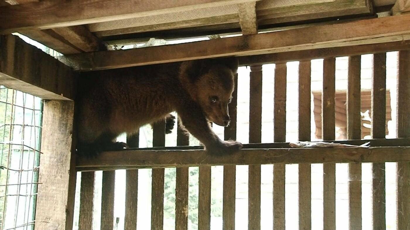 """У центрі реабілітації бурих ведмедів """"Синевир"""" новий мешканець – ведмежатко Петя (ФОТО), фото-3"""