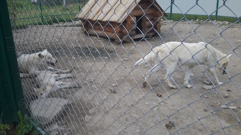 Соцмережі: туристи зафіксували жахливі умови перебування вовків в екопарку на Міжгірщині (ФОТО), фото-3