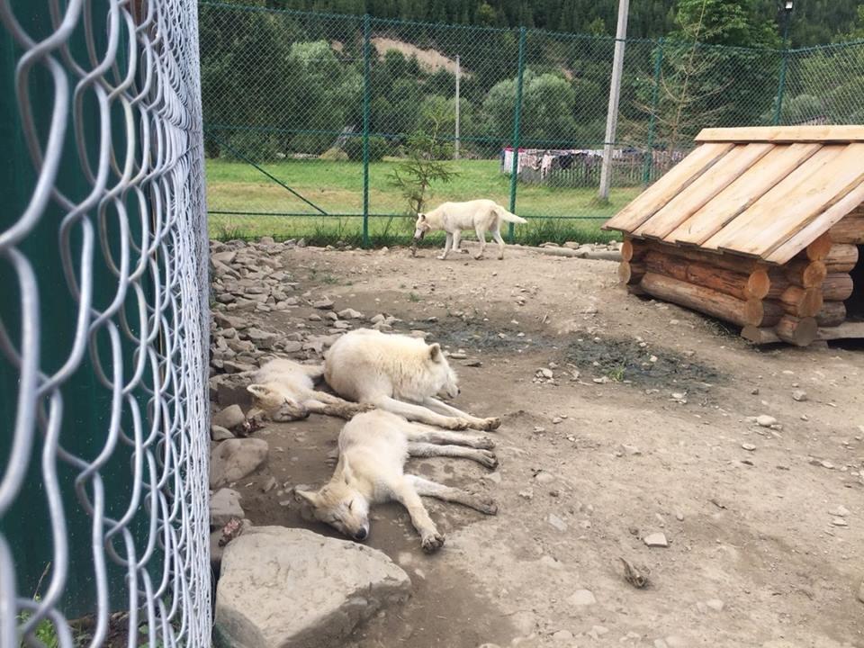 Соцмережі: туристи зафіксували жахливі умови перебування вовків в екопарку на Міжгірщині (ФОТО), фото-10