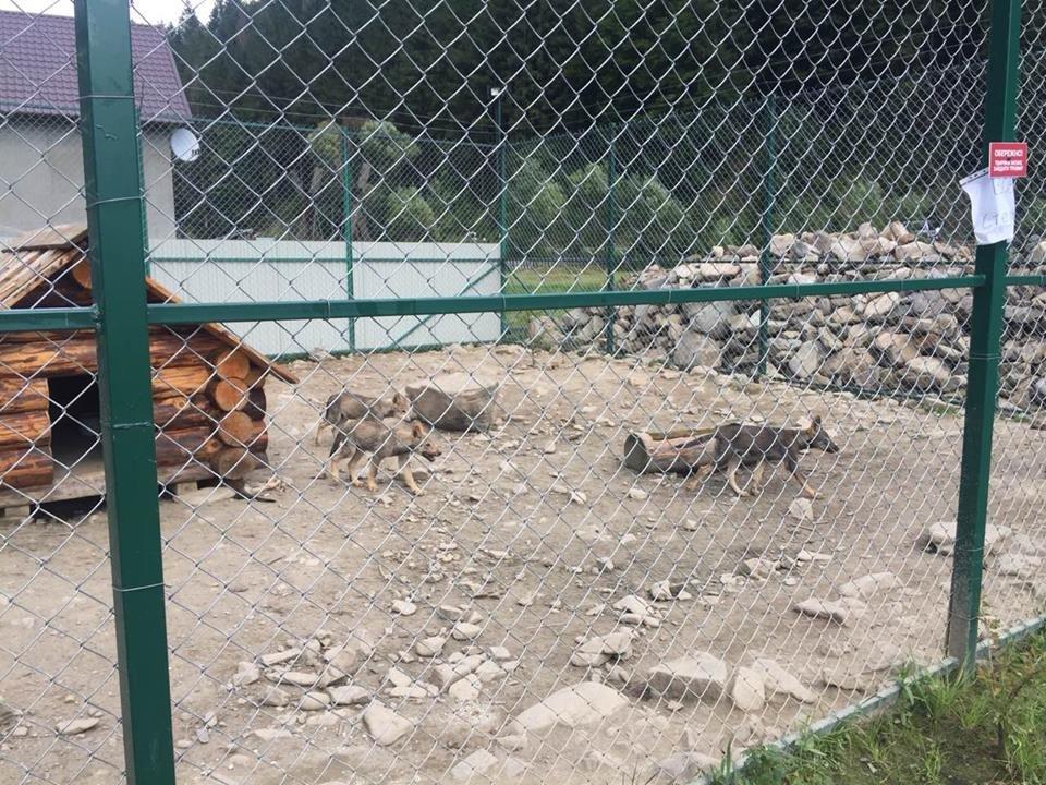 Соцмережі: туристи зафіксували жахливі умови перебування вовків в екопарку на Міжгірщині (ФОТО), фото-5
