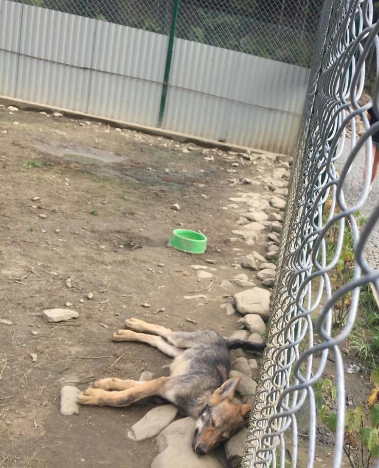 Соцмережі: туристи зафіксували жахливі умови перебування вовків в екопарку на Міжгірщині (ФОТО), фото-1