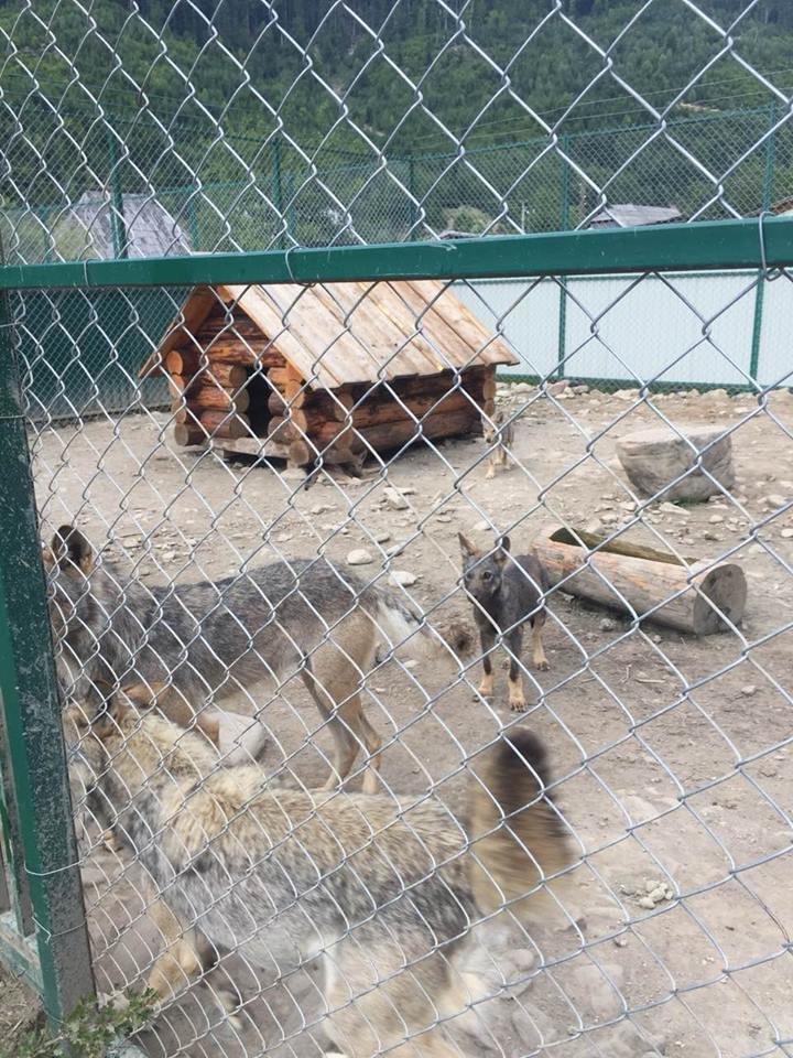 Соцмережі: туристи зафіксували жахливі умови перебування вовків в екопарку на Міжгірщині (ФОТО), фото-6