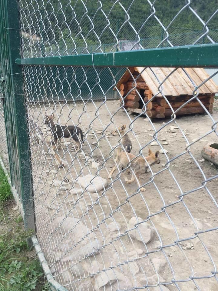 Соцмережі: туристи зафіксували жахливі умови перебування вовків в екопарку на Міжгірщині (ФОТО), фото-9