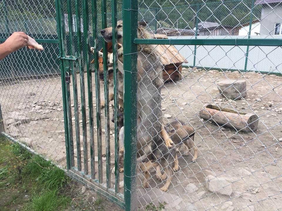 Соцмережі: туристи зафіксували жахливі умови перебування вовків в екопарку на Міжгірщині (ФОТО), фото-7