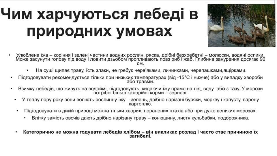 """На """"Кірпічці"""" через ужгородців постраждав лебідь, активісти просять містян утриматись від годівлі птахів (ФОТО), фото-1"""