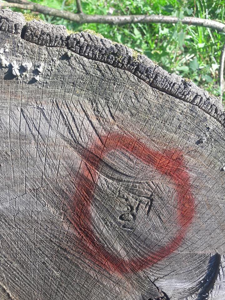 На Закарпатті зафіксовано рекордну в історії незаконну вирубку дубу на 10 мільйонів гривень (ФОТО, ВІДЕО), фото-3