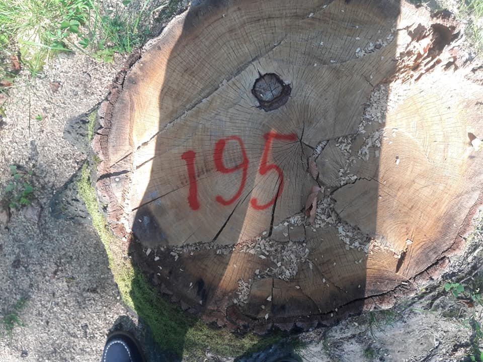 На Закарпатті зафіксовано рекордну в історії незаконну вирубку дубу на 10 мільйонів гривень (ФОТО, ВІДЕО), фото-2