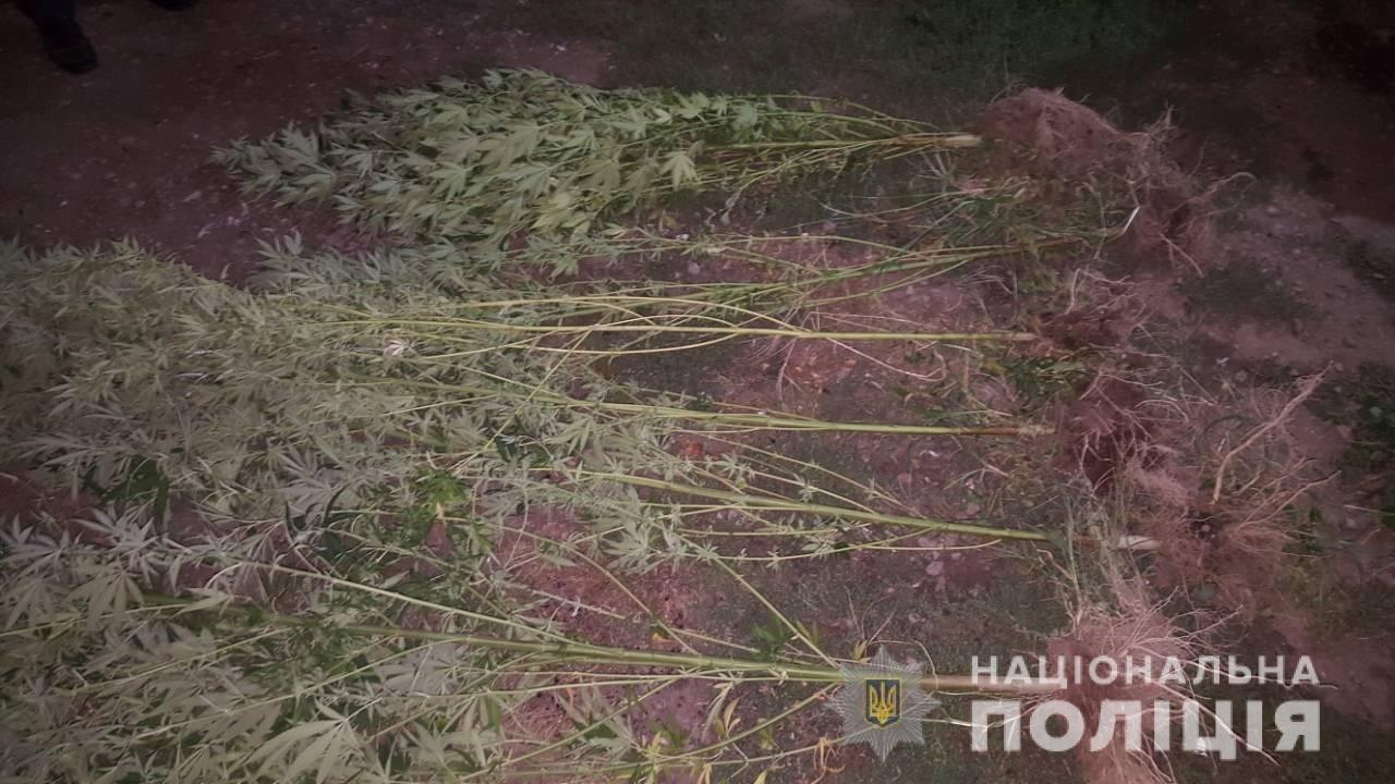 «Конопляний бум»: під час обшуків у трьох закарпатців вилучено 4-метрові стебла коноплі та марихуану (ФОТО), фото-3