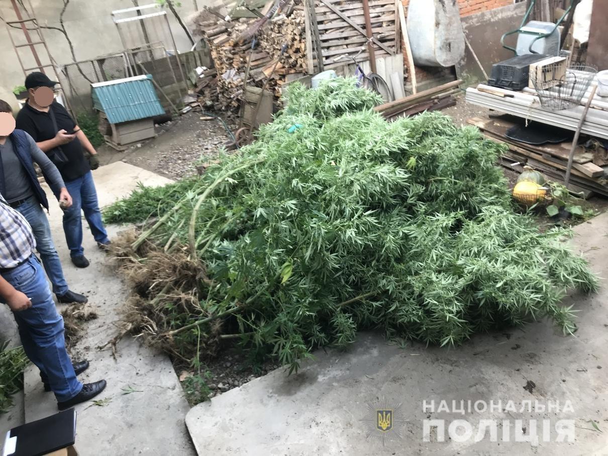 «Конопляний бум»: під час обшуків у трьох закарпатців вилучено 4-метрові стебла коноплі та марихуану (ФОТО), фото-1