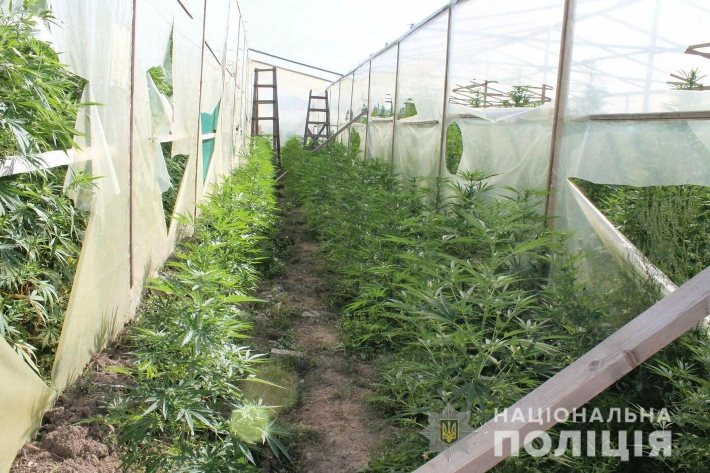 Плантація на 10 мільйонів гривень: на Закарпатті поліція виявила теплиці з марихуаною (ОПЕРАТИВНЕ ВІДЕО, ФОТО), фото-5