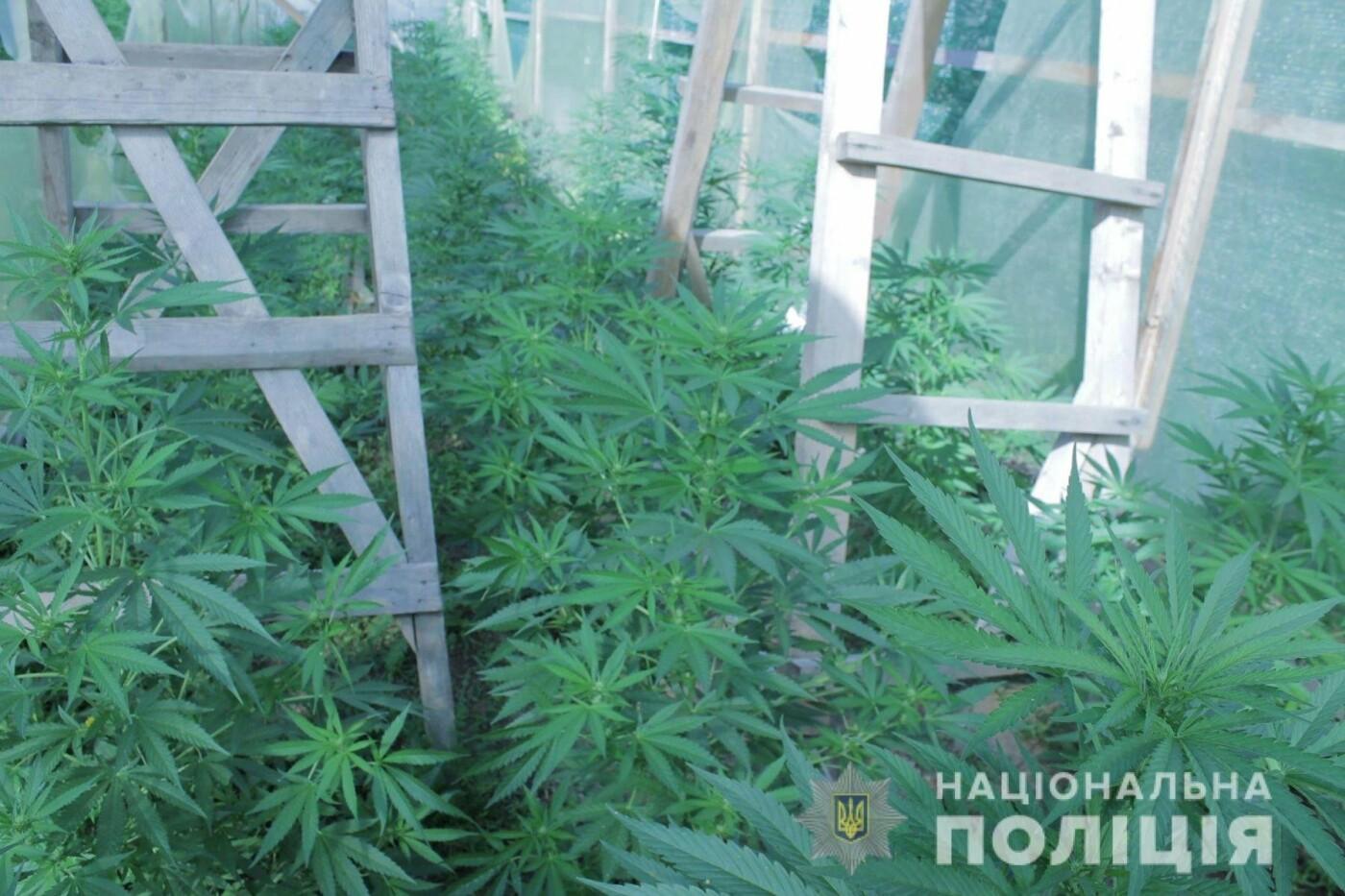 Плантація на 10 мільйонів гривень: на Закарпатті поліція виявила теплиці з марихуаною (ОПЕРАТИВНЕ ВІДЕО, ФОТО), фото-3