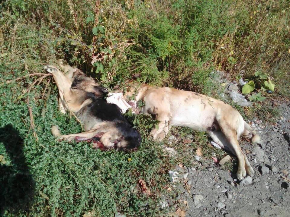 Жахлива знахідка: в Ужгороді неподалік житлових будинків знайшли закатованих собак, одну без голови (ВІДЕО, ФОТО16+), фото-1