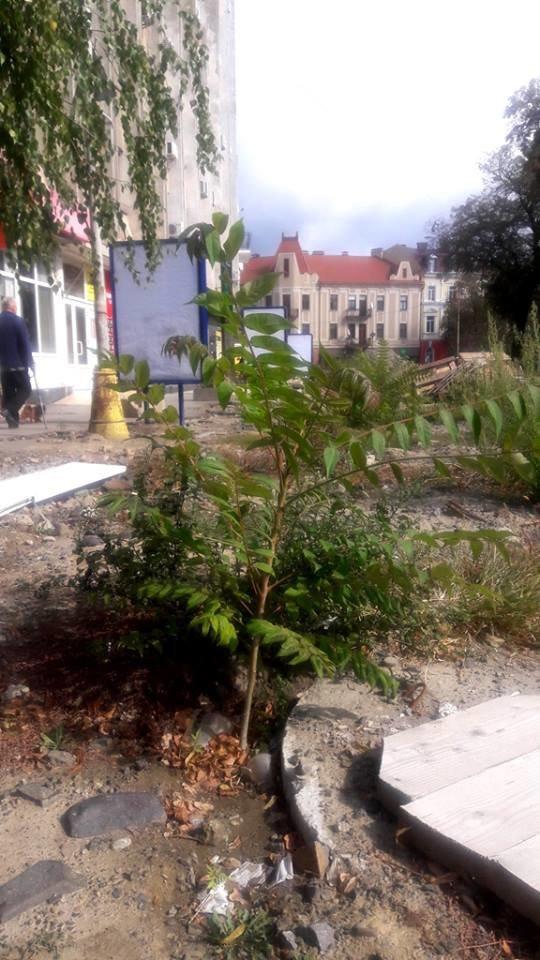 Фото дня: на Петефі в Ужгороді дозріває врожай томатів, фото-2