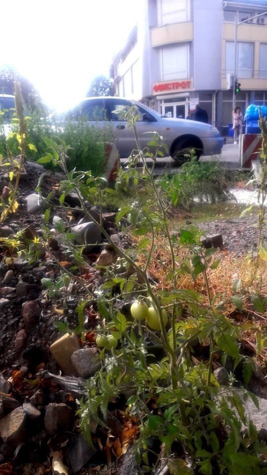 Фото дня: на Петефі в Ужгороді дозріває врожай томатів, фото-1