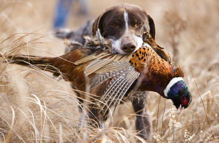 У неділю, 7 жовтня, на Закарпатті стартує сезон полювання на фазанів, фото-1
