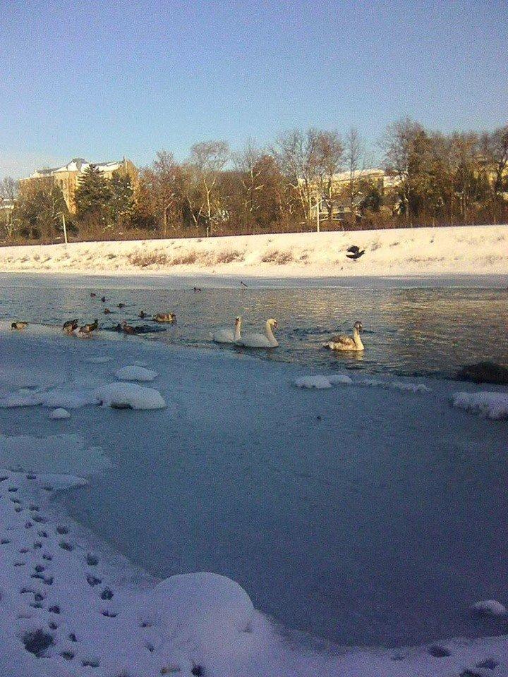 Не вдалось врятувати: В Ужгороді загинула ще одна лебідка (ФОТО), фото-3