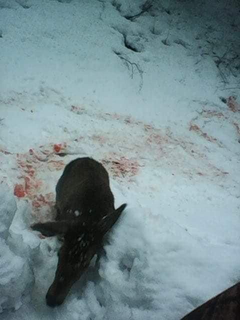 Лісівники Закарпаття прокоментували інформацію про вбитий молодняк оленя благородного (ФОТО) , фото-3