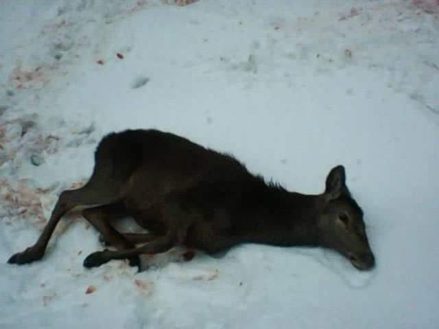 Лісівники Закарпаття прокоментували інформацію про вбитий молодняк оленя благородного (ФОТО) , фото-5