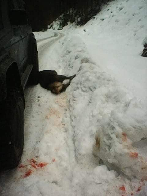 Лісівники Закарпаття прокоментували інформацію про вбитий молодняк оленя благородного (ФОТО) , фото-4