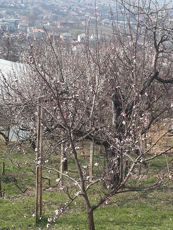 На Закарпатті вже на повну цвітуть абрикоси, кизил та мигдаль (ФОТО), фото-1