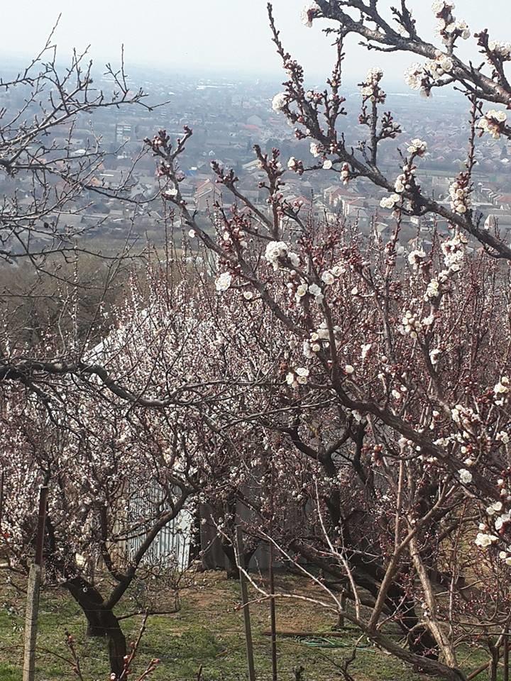 На Закарпатті вже на повну цвітуть абрикоси, кизил та мигдаль (ФОТО), фото-2