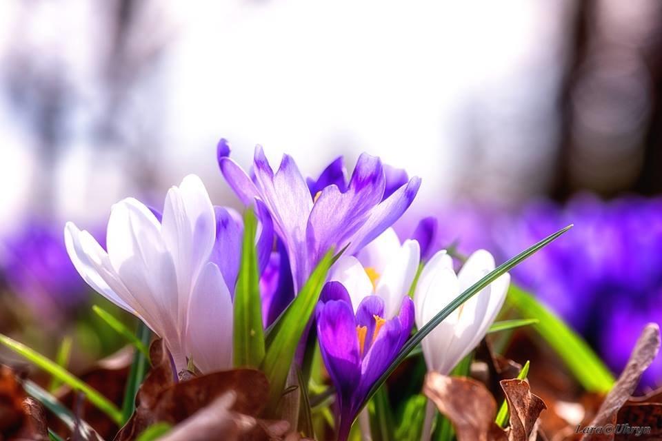 """Ужгородські фотографи показали фантастичні світлини """"фіолетового божевілля"""" у Карпатському лісі (ФОТО), фото-9"""