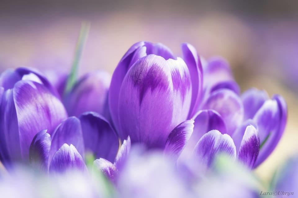 """Ужгородські фотографи показали фантастичні світлини """"фіолетового божевілля"""" у Карпатському лісі (ФОТО), фото-11"""