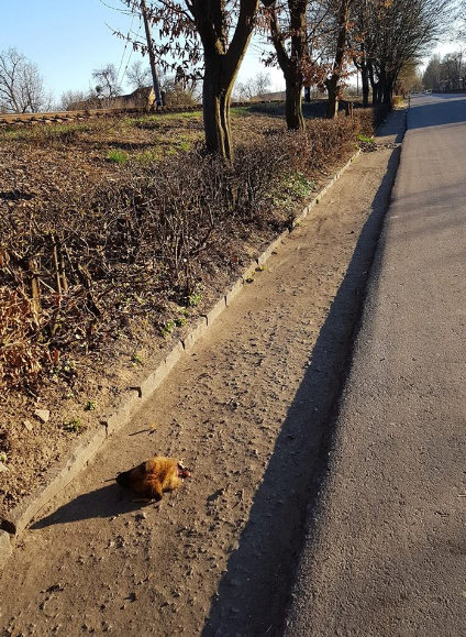 У Мукачеві на узбіччі знайшли відрізану голову собаки - зоозахисники б'ють на сполох (ФОТО 18+), фото-1