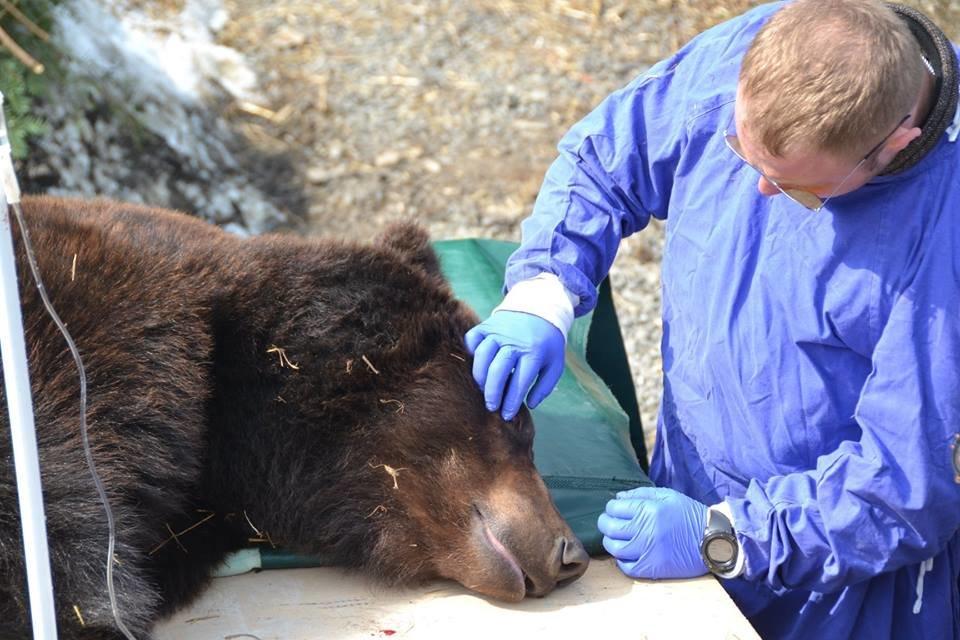 На Закарпатті до синевирських ведмедів приїхали лікарі - лікувати зуби (ФОТО), фото-6