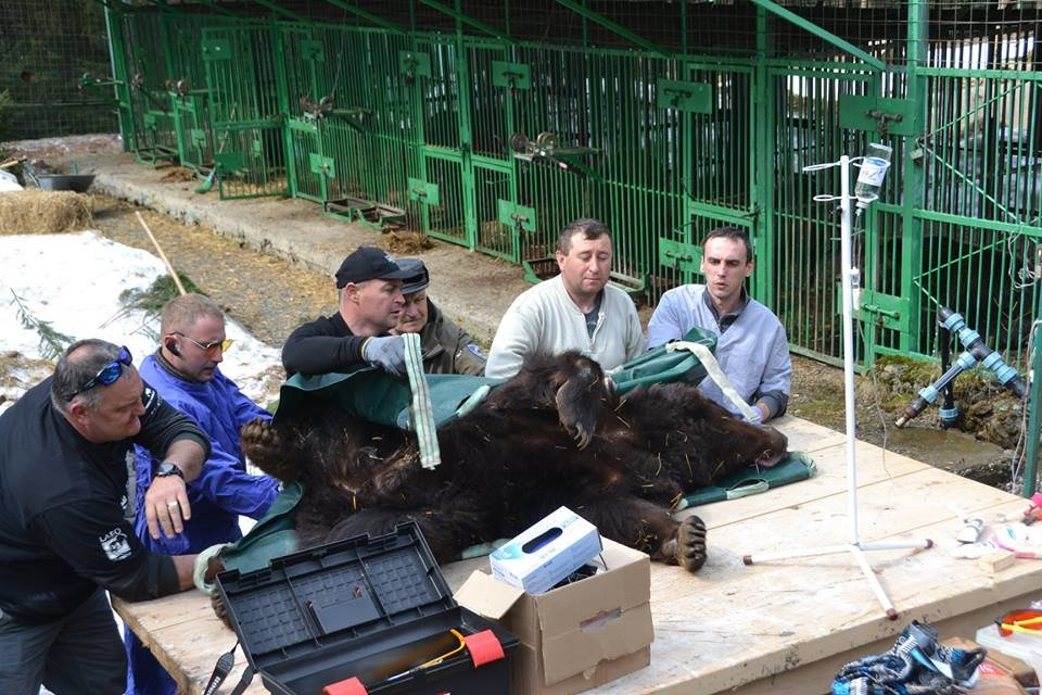 На Закарпатті до синевирських ведмедів приїхали лікарі - лікувати зуби (ФОТО), фото-5