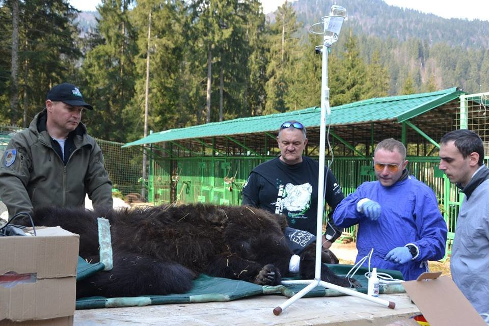 На Закарпатті до синевирських ведмедів приїхали лікарі - лікувати зуби (ФОТО), фото-1