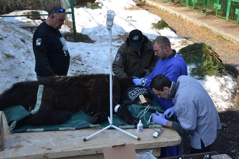 На Закарпатті до синевирських ведмедів приїхали лікарі - лікувати зуби (ФОТО), фото-2