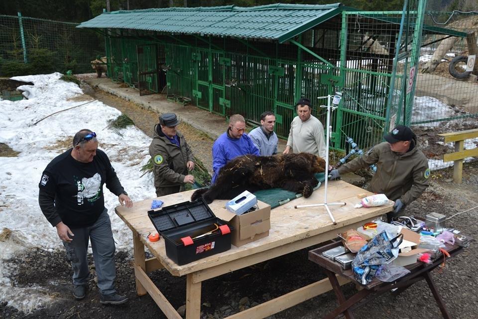 На Закарпатті до синевирських ведмедів приїхали лікарі - лікувати зуби (ФОТО), фото-3