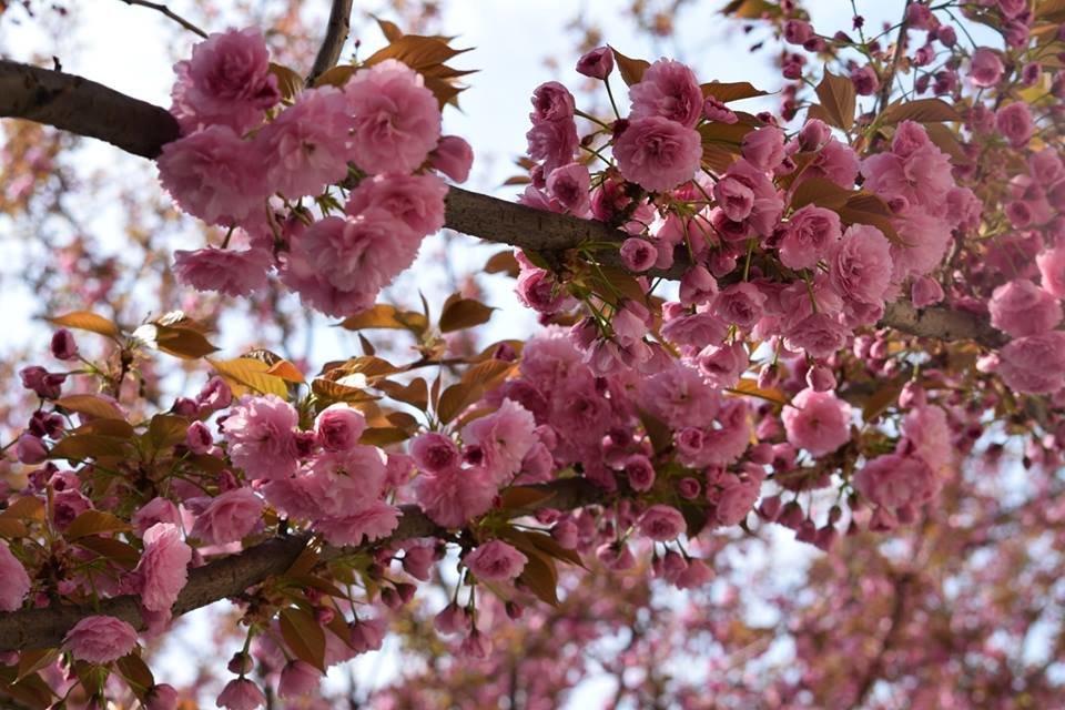 """12 квітня - старт традиційного фестивалю """"Сакура-Фест"""" , фото-11"""