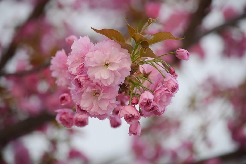 """12 квітня - старт традиційного фестивалю """"Сакура-Фест"""" , фото-1"""