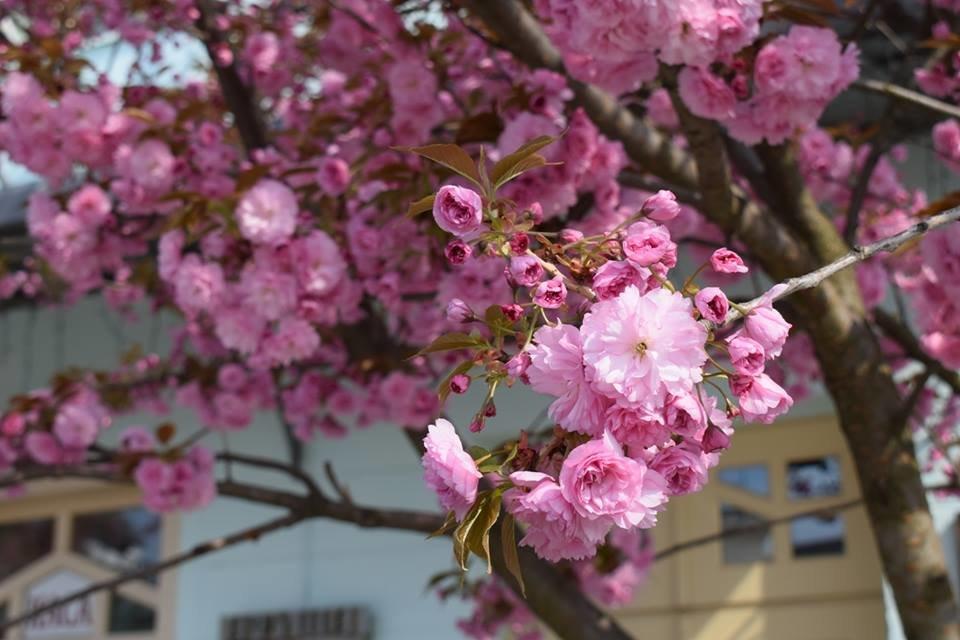 """12 квітня - старт традиційного фестивалю """"Сакура-Фест"""" , фото-10"""