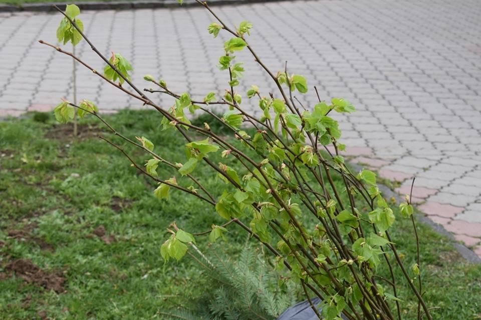 На вулиці Богдана Хмельницького в Ужгороді  висадили 35 молодих дерев (ФОТО), фото-2