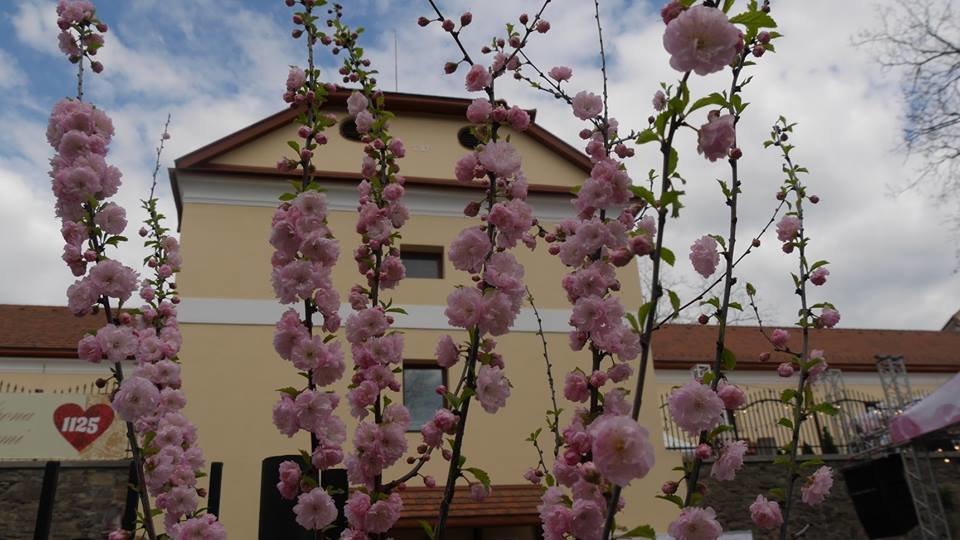 «Sakura Wine»: В Ужгороді розпочався фестивaль рожевого винa (ФОТО), фото-7